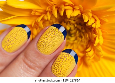 Blue French manicure with yellow craquelure nail Polish close-up on flower background.Nail art.