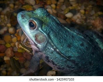 blue frog bullfrog wild amphibian animal