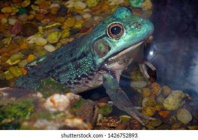 blue frog bullfrog wild amphibian animal terrarium