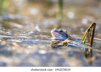 Blue frog - Rana arvalis in water at mating time. Wild photo from nature. The photo has a nice bokeh. The image of a frog is reflected in the water.