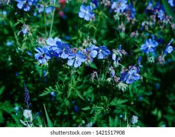 A blue Geranium bush ina garden border.