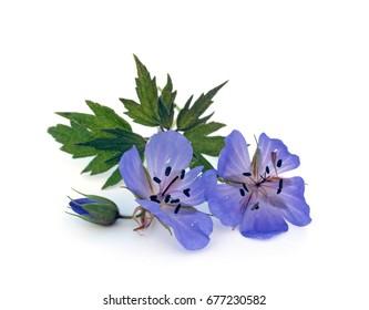 Blue Geranium pratense flower. Geranium pratense known as the meadow crane's-bill or meadow geranium. Isolated on white background