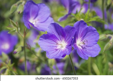 Blue Geraniums flowers under the summer sunlight.  Perfect image for: Bush of flowering Geranium maculatum, the Spotted, Wood or Wild Geranium flower, nature and summer landscape.