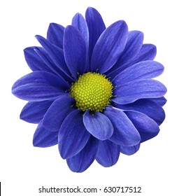 Blue gerbera flower.  White isolated background with clipping path.   Closeup.  no shadows.  For design.  Nature.