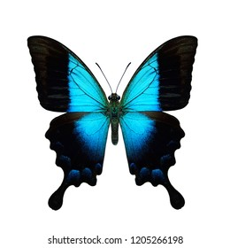 Blue Gloss, Glosswing or Gloss Swallowtail (papilio pericle) beautiful turqouise butterfly upperside view isolated on white background, exotic nature