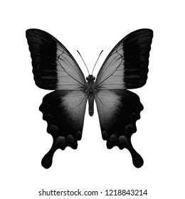 Blue Gloss, Glosswing or Gloss Swallowtail (papilio pericle) in colorless black and white, exotic nature