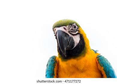 Blue & Gold Macaw closeup