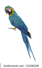 Blue and Gold Macaw isolate on white background
