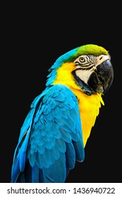 Blue and gold macaw isolated on black background