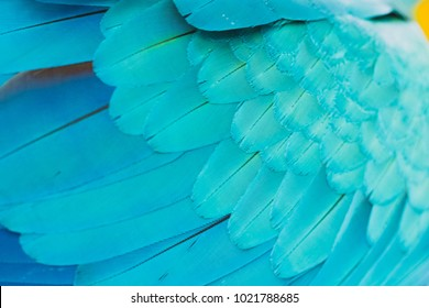 Blue and Gold Macaw - also known as Blue and yellow Macaw -  feathers. Natural blue feathers of parrots. Selective focus.