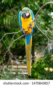 Blue and Gold Macaw Perched in a Tree