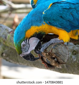 Blue and Gold Macaw Pulling Bark of a Tree Branch