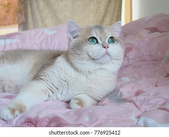 Golden Shaded British Shorthair Images, Stock Photos & Vectors