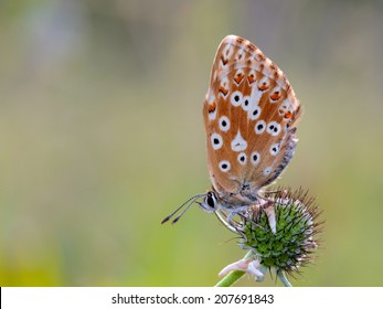 Blue Gossamer winged Butterfly in the morning with blurred background