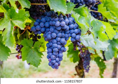 Blue grape and green grape leaf background, Germany.  New vintage wine background