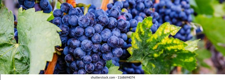 Blue grape and green grape leaf background, Germany.   Lemberger wine varieties, also Blaufrankisch, Lemberger, Limberger, Gamay, Frankovka, Modra Frankinja, Franconia  , banner background.