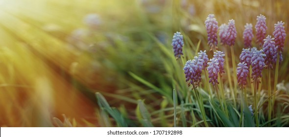 Blue Grape Hyacinth. Flowers Muscari.  Blue flowers in spring garden. Muscari is a genus of perennial bulbous plants native to Eurasia. First blue Springs flowers. Blue Muscari flowers close up.