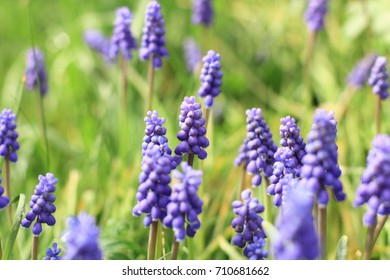 Blue grape hyacinth in Summer 2015. This shrubs with distinctive color are commonly found in the backyard during summer in Germany.