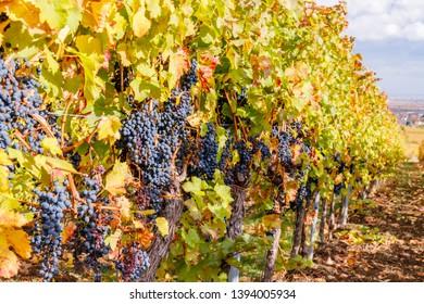 Blue grape rows in german vineyard. New vintage wine background concept. Autumn in Vineyards Palatinate region, German Wine Road, Rhineland Palatinate, Germany.