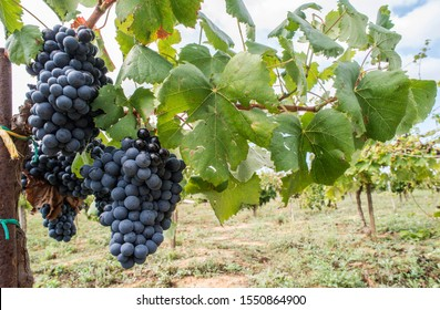 Blue grapes in the array. Close-up red grape. Low point of view. Small vines with big grapes.