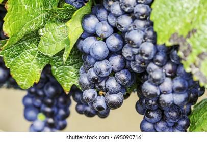 Blue grapes / Blauer Zweigelt / Illmitz / Burgenland / Austria