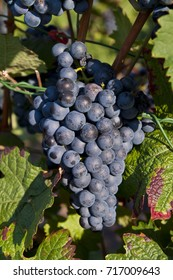 Blue Grapes in early autumn