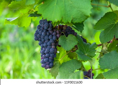 Blue grapes and green leaves in a vineyard close up