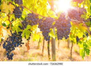 Blue grapes growing in vineyard on vine