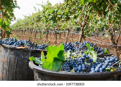 Blue grapes harvested for wine at vineyard, Apulia, Italy