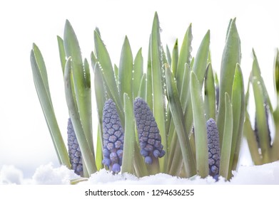 blue grapes hyacinth.beautifull hyacinth flowers in the snow