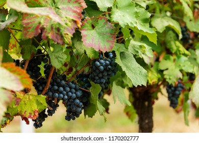 Blue grapes on the vine