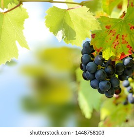 Blue grapes on a vineseasonal food concept