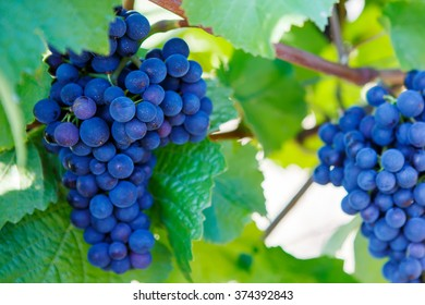 Blue Grapes ready to harvest made by a vintner in an established winery