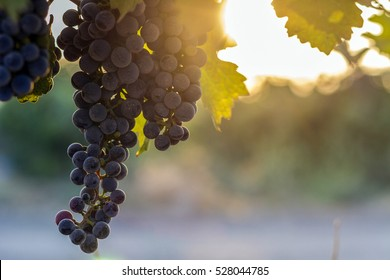 Blue grapes in the sun