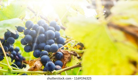 Blue grapes in sunlight