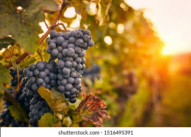 Blue grapes at sunset in autumn vineyard