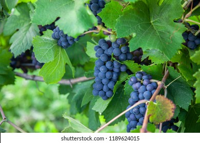 Blue grapes in a vineyard