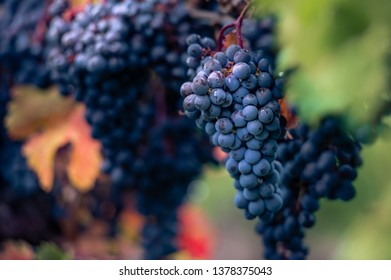 Blue grapes in a vineyard at sunset