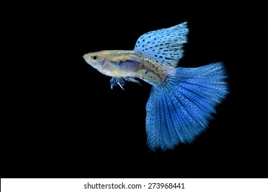 Blue Grass Guppy isolated on Black