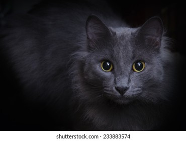 Blue gray cat with yellow eyes and a black background