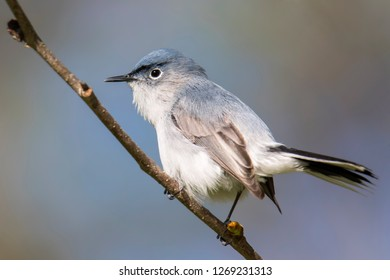 Blue Gray Gnat Catcher Perched In Tree