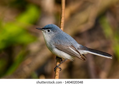Blue Gray Gnat Catcher Perched On Branch