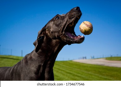 A blue great Dane catches a baseball in mid air