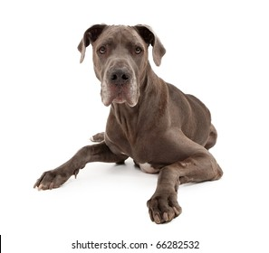 A blue Great Dane dog and isolated on white