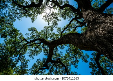Blue and green colors of the living Old Live Oak Tree in Austin , TX Central Texas Looking straight up at Spreading Branches and Vine like Pattern and bark being shaded by its leaves