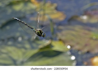 blue green hawker