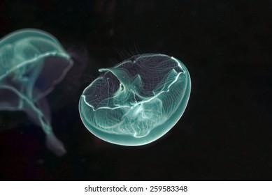 blue green Jellyfish