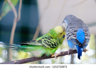 Blue and green Lovebird parrots sitting together on a tree branch, Lovebird Kiss.
