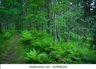 blue green pine forest with fern videtny day in Karelia