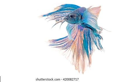 Blue Half Moon Betta fish, Capture the moving moment of siamese fighting fish on white background